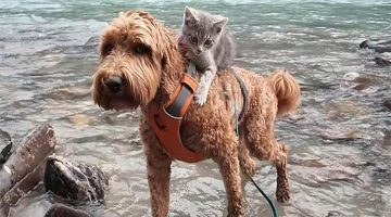 Rescue Kitten Meets Dog And Won't Let Go Of Her Since