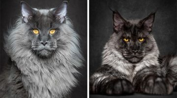 Photographer Portrays The Majestic Beauty Of Maine Coon Cats