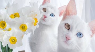 Take a Look At The World's Most Beautiful Twin Cats