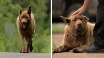 Old Dog Walks About 4 Miles Every Day To Say Hi To Everyone In Town