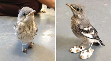 Tiny Injured Mockingbird Gets Miniature 'Snowshoes' And Gets Back On Her Feet