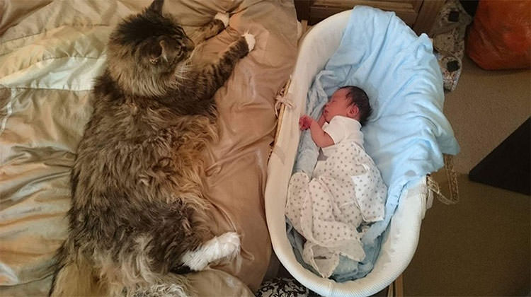 worlds largest maine coon cat has the cutest bond with his human brother september 19 2016 - Smallest Cat In The World Guinness 2016