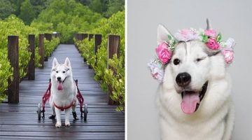 Woman Adopted Husky Puppy Without Paws And Made Her The Happiest Dog