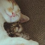 Rescue Cat Cuddles With Her New Tabby Sibling And Won't Let Go