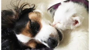 Sick Kitty Is Being Nursed By Loving Dog And Is Slowly Getting Better