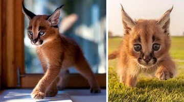 Meet The Caracals, Probably One Of The Cutest Cat Species Ever