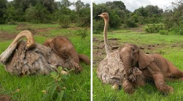Ostrich And Orphaned Elephant Make The Most Unlikely Cuddle Buddies