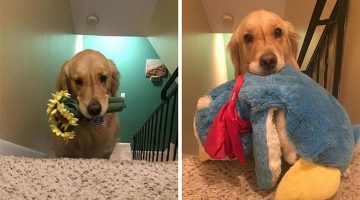 Therapy Dog Chooses a Different Toy To Sleep With Every Night