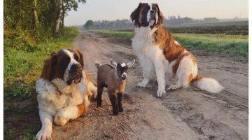 Giant Dogs Raise Baby Goat As Their Own