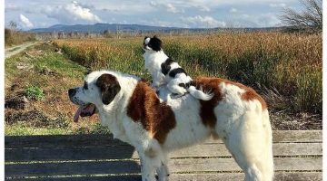 Little Dog Gets Carried Around By Bigger Dog