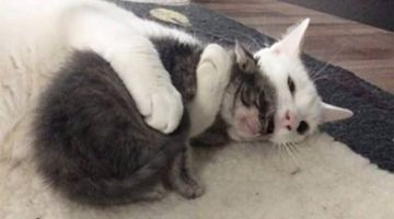 Rescue Cat Hugs Every Kitten His Mom Brings Home