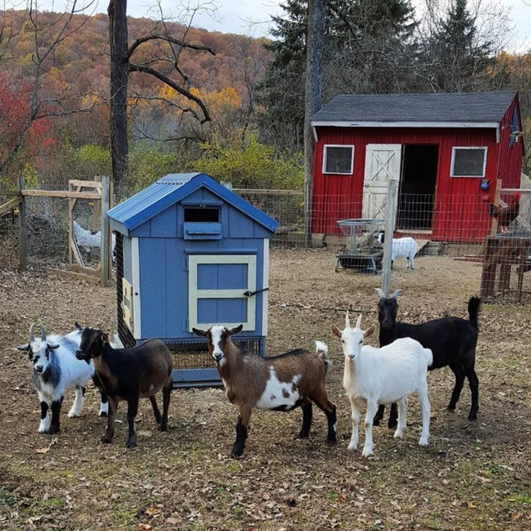 baby-goats-leanne-lauricella-2