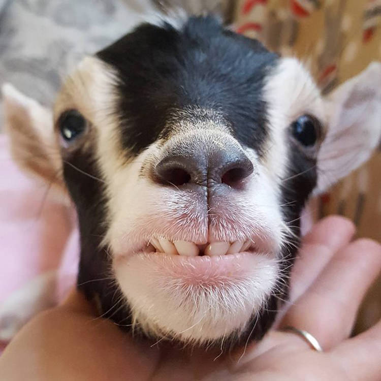 baby-goats-leanne-lauricella-5