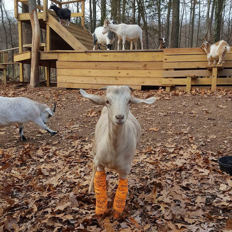 baby-goats-leanne-lauricella-6