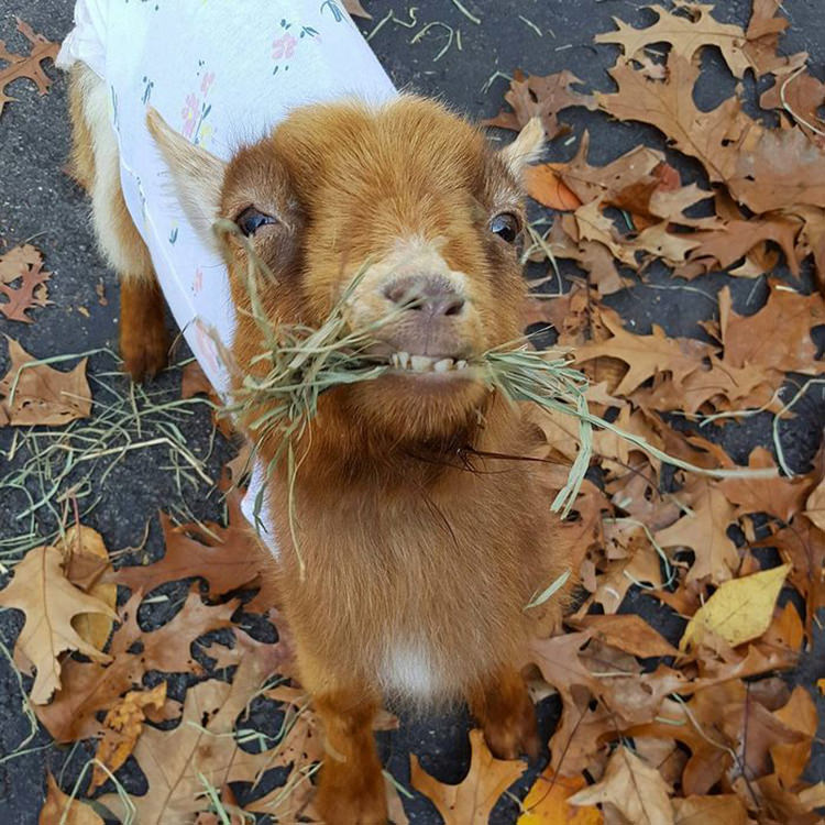 baby-goats-leanne-lauricella-7