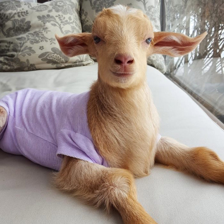 baby-goats-leanne-lauricella-8