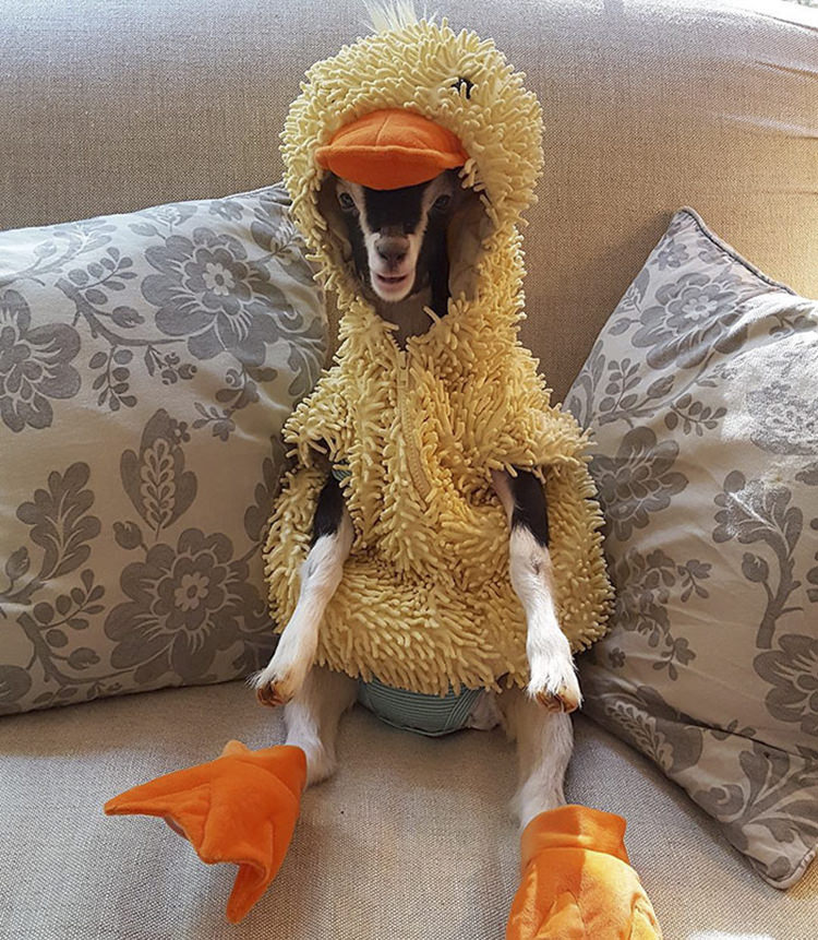 polly-rescue-goat-anxiety-costume-1