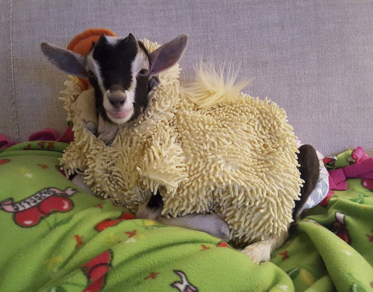 polly-rescue-goat-anxiety-costume-2