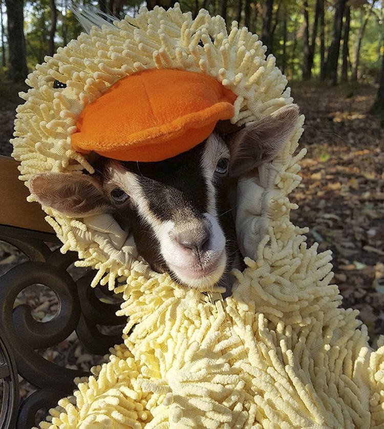 polly-rescue-goat-anxiety-costume-4