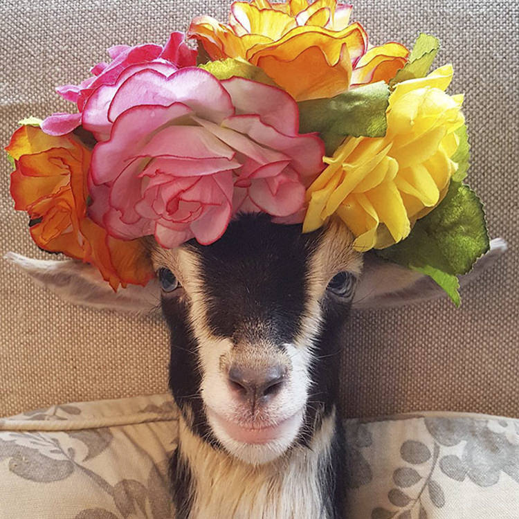 polly-rescue-goat-anxiety-costume-6