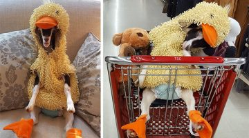 Rescue Goat Suffered From Anxiety Until Her Human Got Her a Duck Costume