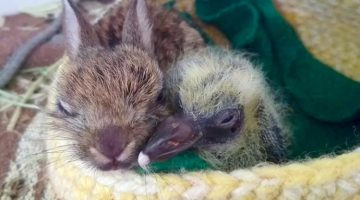Rescue Baby Rabbit And Pigeon Tore Down Tiny Wall Just To Cuddle Together