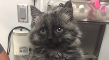 Cute Kitten Recovers From Disability Into The Happiest Little Diva