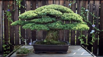 The 391-Year-Old-Bonsai That Survived Hiroshima and Keeps Growing