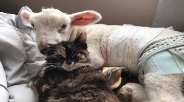 This Rescued Sheep Found A Friend In A Cat