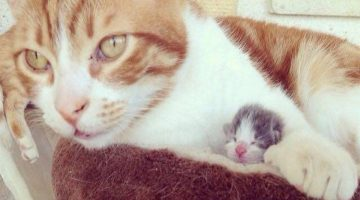Rescue Cat Welcomes Tiny Kitten Home And Becomes His Cat Papa