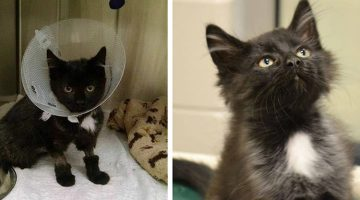 Shelter Kitten Finds Family and Survives Surgery with 8 Lives to Spare