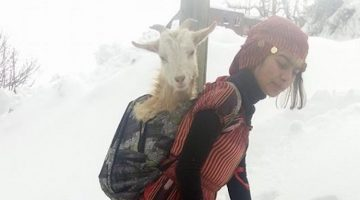 Young Girl And Her Dog Save Goat Mother And Her Baby By Carrying Them Up Mountain
