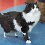 Rescue Amputee Cat Walks Again After Getting New Bionic Legs