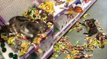 This Cat Found Ultimate Fun While Getting Lost In A Toy Store