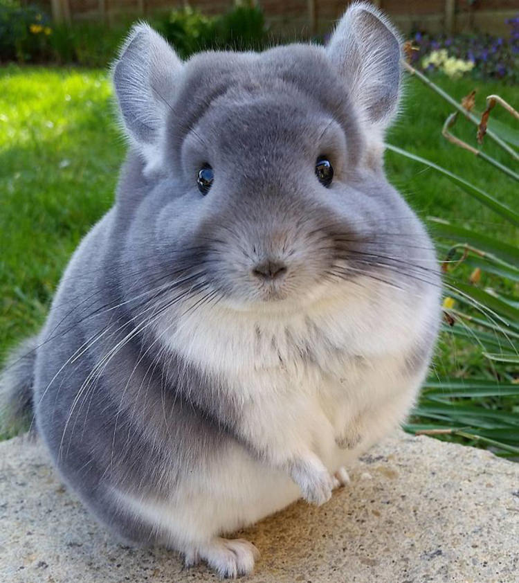 These Chinchillas Have The Most Fluffy, Round Butts Ever