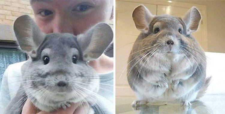 these chinchillas have the most fluffy  round butts ever
