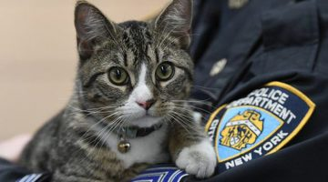Cops Find Cute Kitten Abandoned At Police Station. He Becomes NYPD's Friskiest Officer