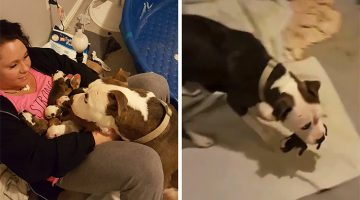 Rescue Pit Bull Only Trusts Her Human With Her 11 Newborn Puppies
