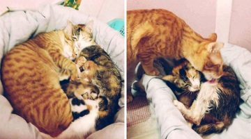 Cat Father Gives The Greatest Support To Cat Mom And His Newborn Kittens