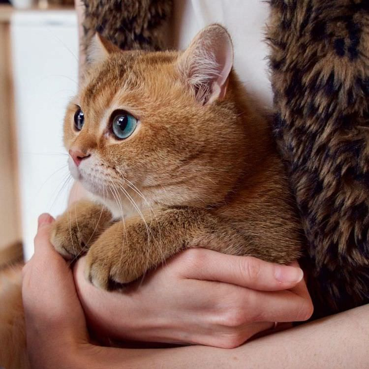 Puss In Boots Exists And His Name Is Hosico