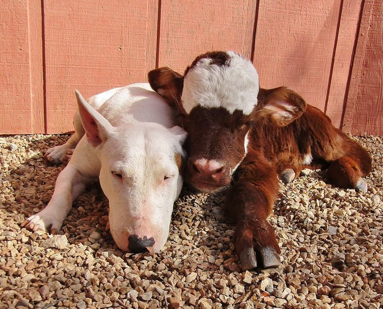 mini cow loves dogs