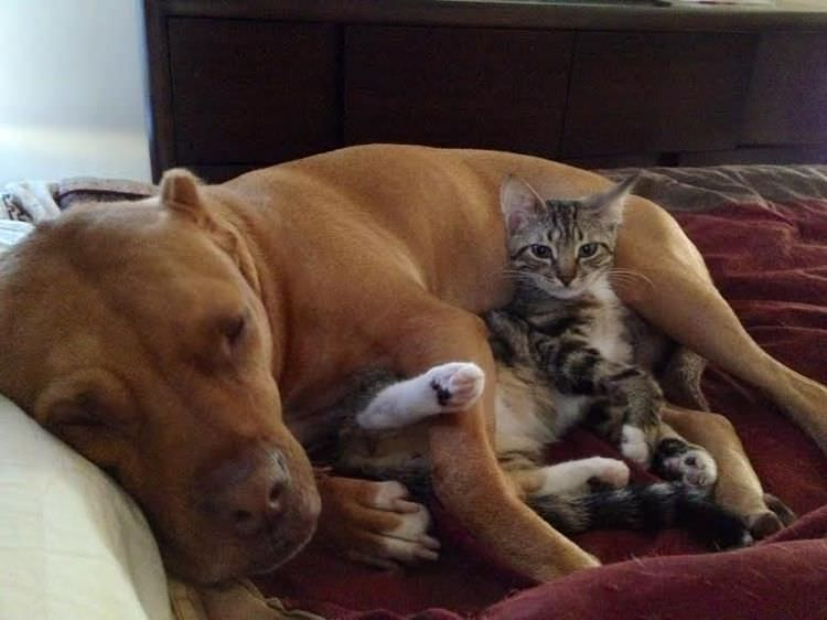 dog snuggles kittens
