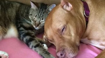 This Pit Bull Endured a Difficult Past, But Now She Has a Unique Ability Towards Cats