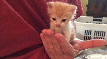 Rescued Tiny Kitten Can Only Sleep When Cuddled