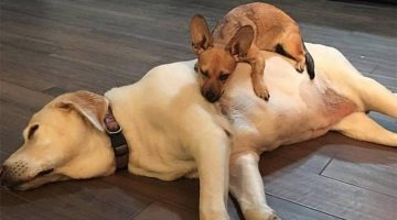 This Labrador Allows Foster Dogs To Sleep Right On Top Of Her