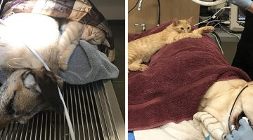 Cat With Special Powers Becomes Nurse At Vet's Clinic