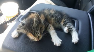 Truck Driver Rescues Kitten From The Road. After She Fell Asleep In The Truck, He Did The Sweetest Thing