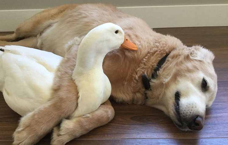 dog duck friendship pictures