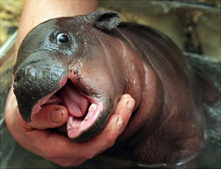 baby hippos pictures