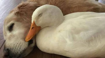 These Unlikely Dog And Duck Friends Are Teaching Humans That Differences Don't Matter!